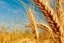 In the current season, the main buyers of Ukrainian wheat increased the grain purchases — APK-Inform