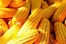 Ціни на українську кукурудзу на FOB перевищили максимум за 7,5 років: що далі?