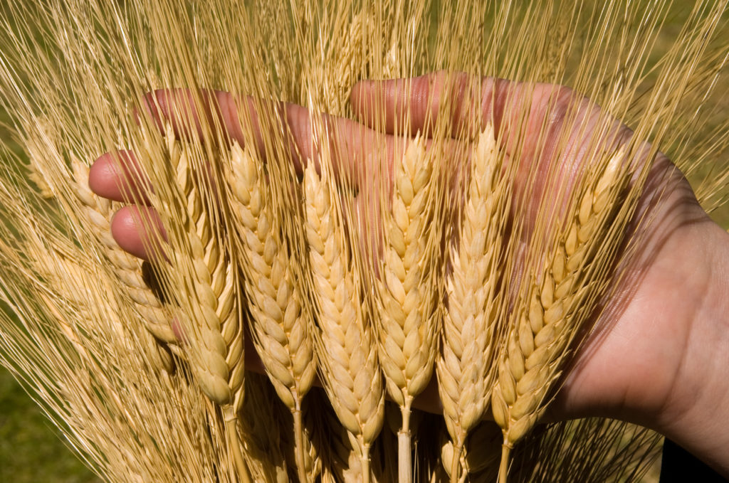 In the new season, the EU increased the imports of durum wheat in 3.3 times